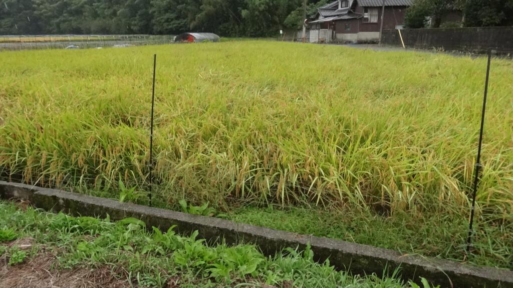 アイガモ農法の田んぼは、無事!