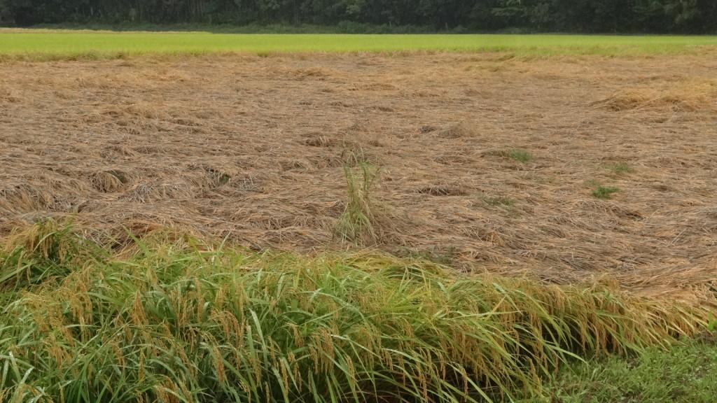収穫前の稲がウンカにやられ無残な姿に。